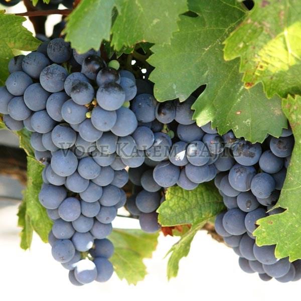 Lozni kalemovi Vinske sorte - Kaberne Sovinjon