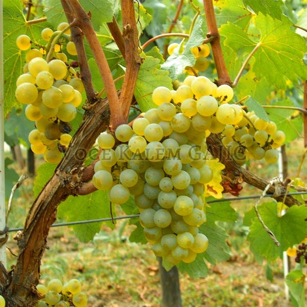 Lozni kalemovi Vinske sorte - Šardone