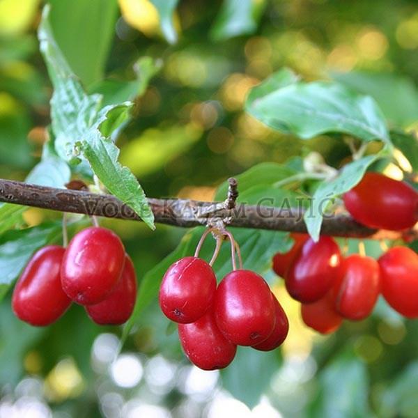Sadnice voća - Sadnice Drena