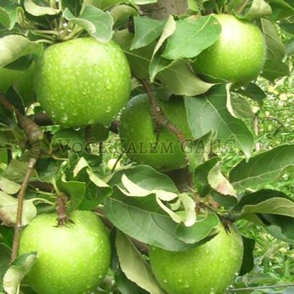 Sadnice jabuke - Sadnice jabuke Čelendžer
