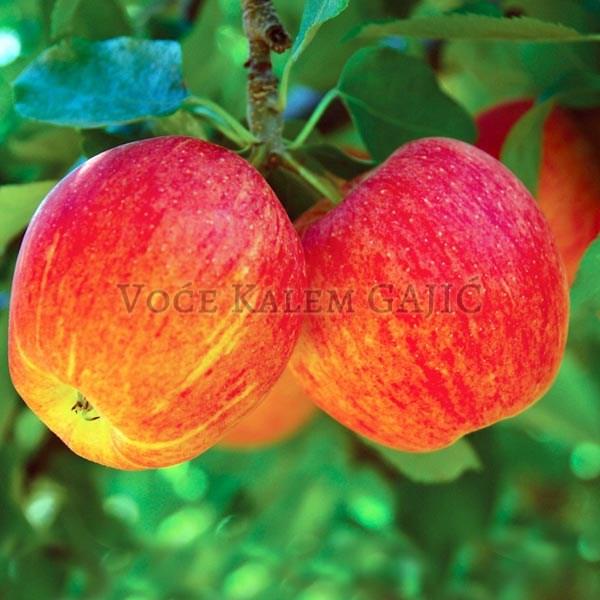 Sadnice jabuke - Sadnice jabuke Gala