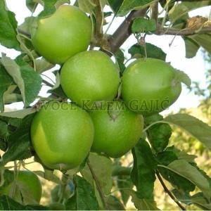 Sadnice voća - Sadnice jabuke Greni Smit