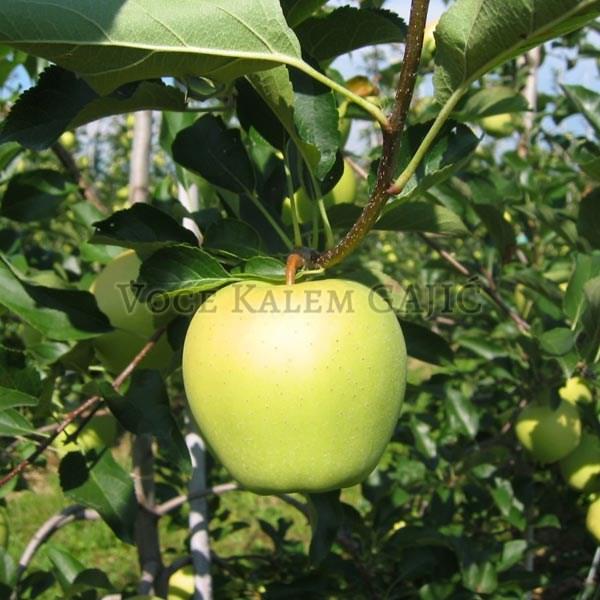 Sadnice jabuke - Sadnice jabuke Rajnders