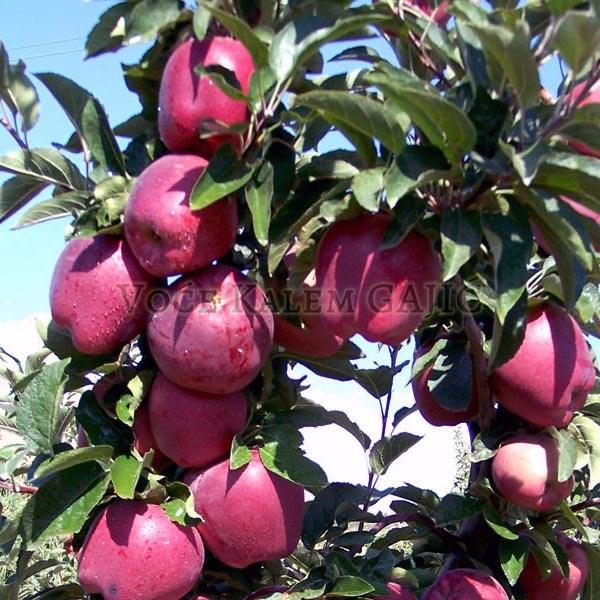 Sadnice jabuke - Sadnice jabuke Red Čif