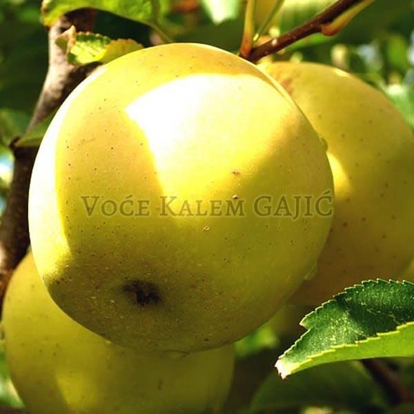 Sadnice jabuke - Sadnice jabuke Zlatni Delišes
