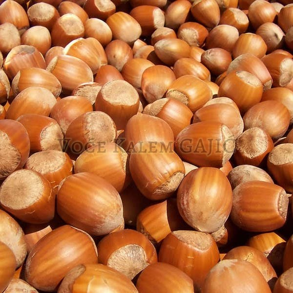 Sadnice voća - Sadnice lešnika Ludolf
