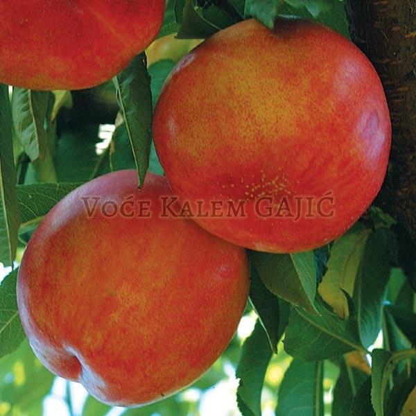 Sadnice voća - Sadnice nektarine Kaldezi
