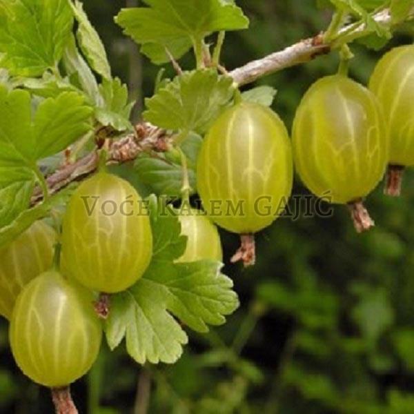 Sadnice voća - Sadnice Ogrozda