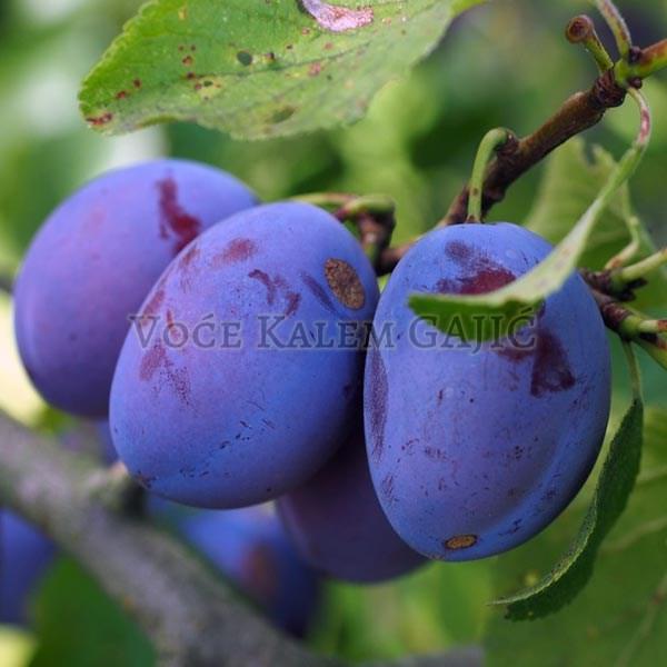 Sadnice voća - Sadnice šljive Bluefree