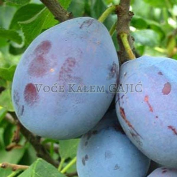 Sadnice voća - Sadnice šljive Čačanska Lepotica