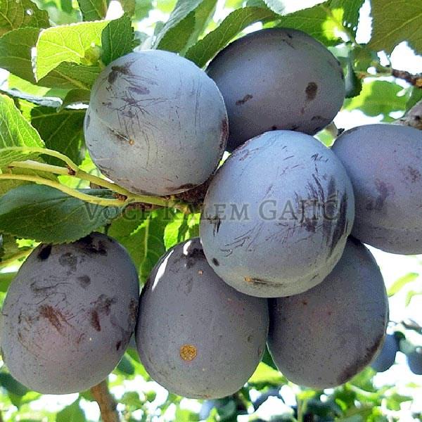 Sadnice voća - Sadnice šljive Čačanska Najbolja