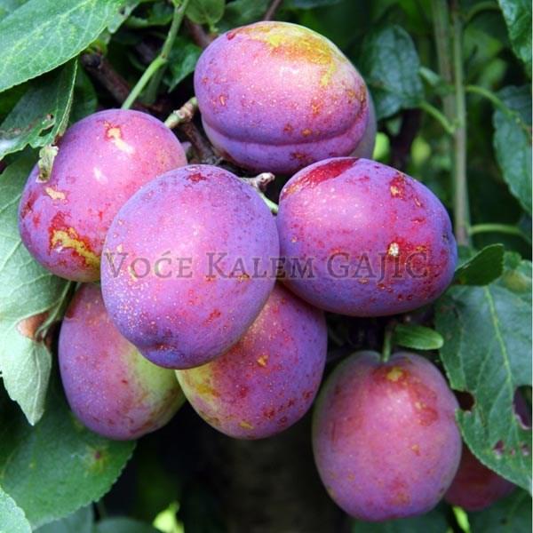 Sadnice voća - Sadnice šljive Rutgešteter