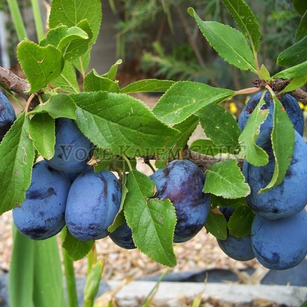Sadnice voća - Sadnice šljive Stenlej