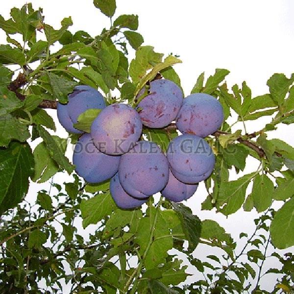 Sadnice voća - Sadnice šljive Timočanka