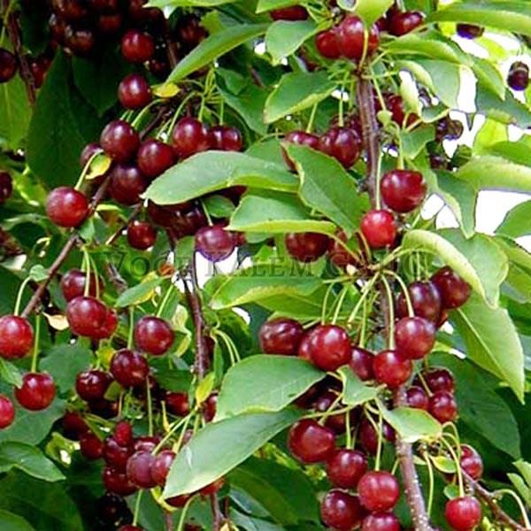 Sadnice voća - Sadnice višnje Šumadinka